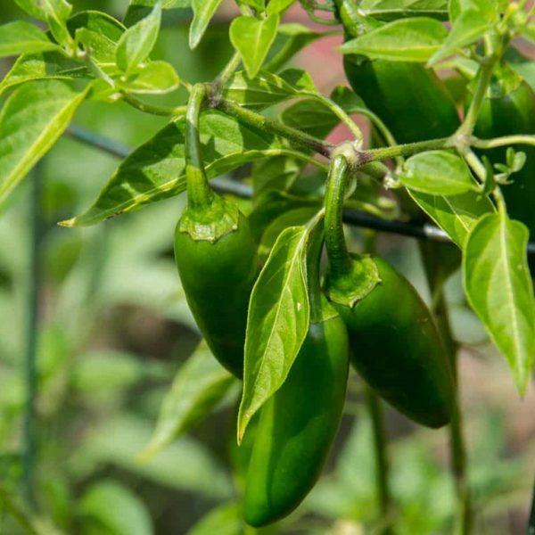 Organic Baklouti Green Chili Olive Oil