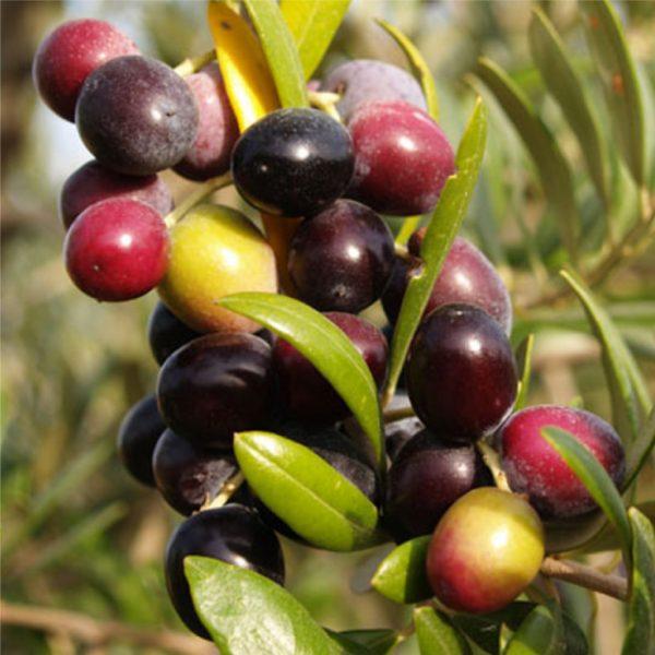 Athinolia Picual Extra Virgin Olive Oil – Mild IOO256