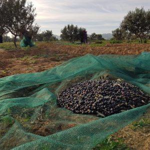 Organic Chetoui Denocciolato EVOO-Robust-Tunisia