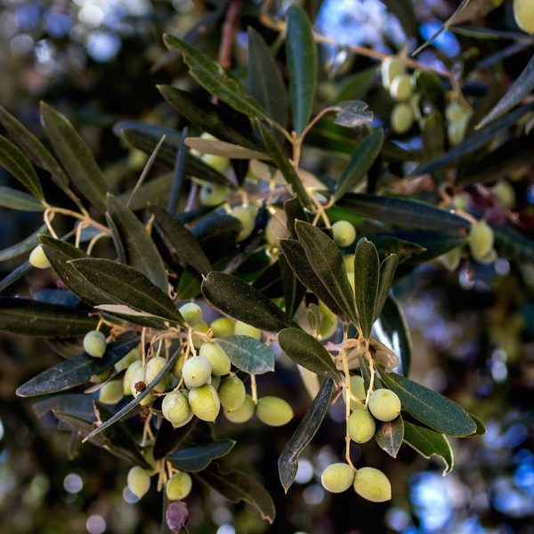 Organic Chetoui Extra Virgin Olive Oil