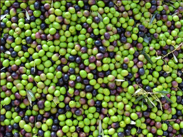 Tunisian Organic Chetoui (Very Robust) – Super High Phenol!