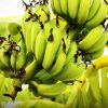 Koronekei Robust Intensity (Chile) June 2021 Harvest